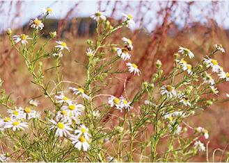 湘南地区に咲く「カワラノギク」