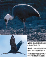 葉山島に迷いヅル