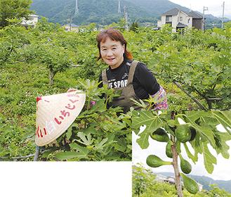 白いちじくを栽培する中村美智子さん(写真上)。秋の収穫期に向け、順調に育っている(写真下)