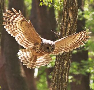 当日公開予定のフクロウの飛行写真(一部)