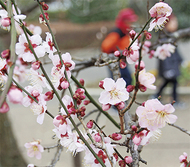 梅の花、ほころぶ