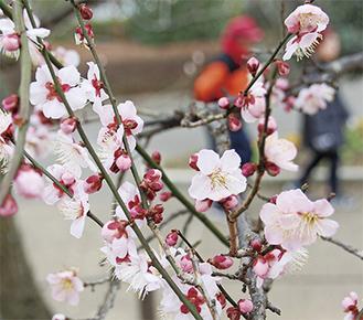園内には紅白や淡いピンクの梅の花が色とりどりに咲き誇っている=2月16日