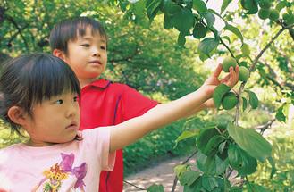 子どもも楽しめる「梅もぎ採り」