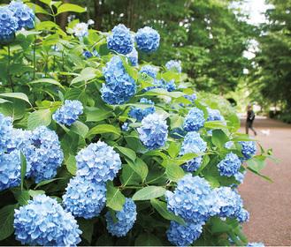 梅雨の時季を彩るアジサイ=6月1日、相模原北公園