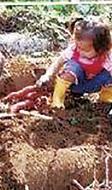 川越散策とサツマイモ掘り