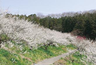 梅の花で白一色に染まる本沢梅園
