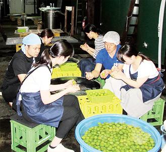 久保田酒造(株)で指導を受けながら、有志の学生が梅酒の仕込みに従事した =6月7日