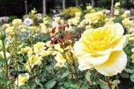初夏知らせる満開のバラ