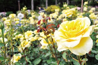 鮮やかなバラを写真に撮る来園客も=15日、相模原北公園