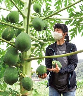 丸々太った青パパイヤを収穫するまるは農園の長谷川さん