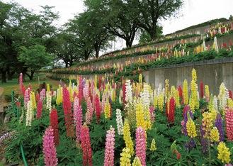 水の苑地に植えられる色鮮やかな10000株のルピナス