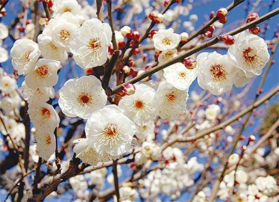 春の便り、梅ほころぶ