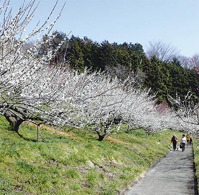 「本沢梅園」一般開放