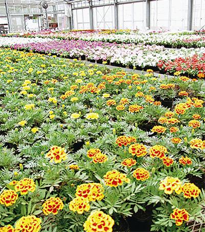 植え替えのベストシーズン到来豊富な花苗でお好みのガーデニングを
