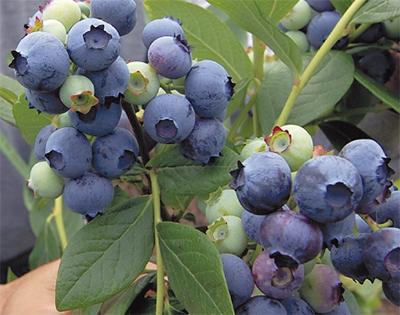 今年も豊作ブルーベリー