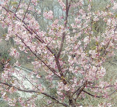 「阿津(あづ)桜」が見頃