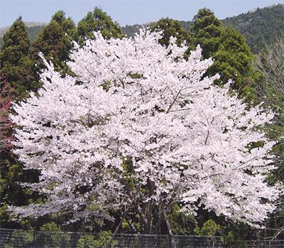 「桜の守り人」を養成