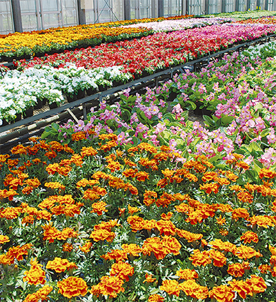 植え替えのベストシーズン到来 豊富な花苗でお好みのガーデニングを