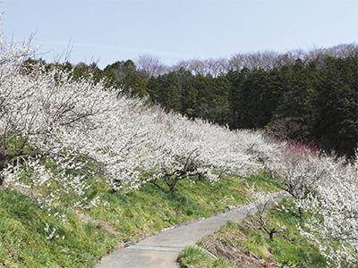 1千本の梅が満開