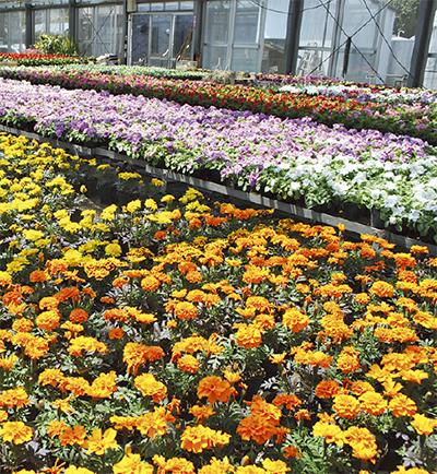 植え替えのベストシーズン到来豊富な花苗でお好みの         ガーデニングを