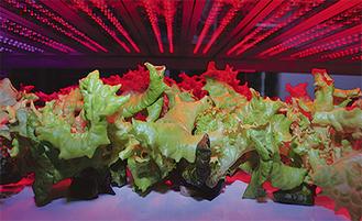 LEDで育てた収穫間近の野菜(提供写真)