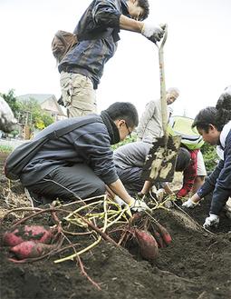 大人たちと一緒にサツマイモの収穫