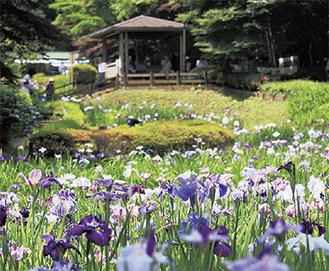 薬師池の花菖蒲田