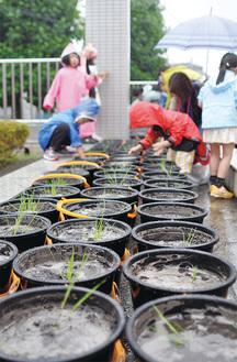 雨にも負けず多くの親子が稲を植えに訪れた