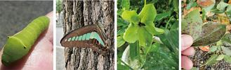 写真左からアオスジアゲハの幼虫、成虫、クリスマスローズ、楠木の葉