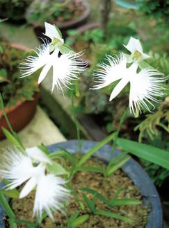 鷺が羽を広げて飛んでいるように花が咲く鷺草