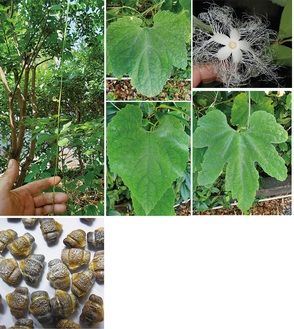 カラスウリの花や様々な形の葉、つる(写真上)、カラスウリの種(下)