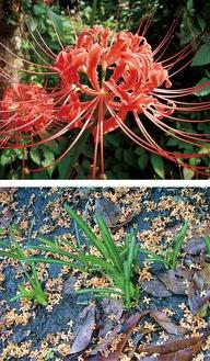 赤い花を咲かせる彼岸花(曼珠沙華)の花と葉