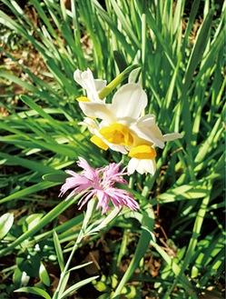 夏の花カワラナデシコと冬の花ニホンズイセンがご対面