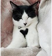 鼻と胸にハートを持つ猫