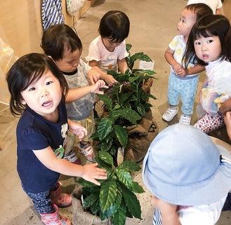 葉をなでてコーヒーの木と親しむ子どもたち