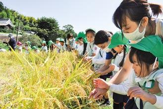 初めて見る田んぼ、稲を触って喜ぶ園児たち