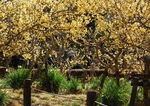 蝋梅の木の根元には水仙の花も