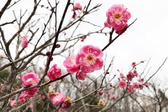 一足早く咲き始めた梅の花も