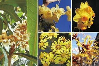 ビワの花(左)と黄色い花たち