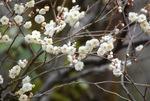 香り豊かな梅は春の季語に