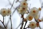 花びらの先が丸いのが特徴