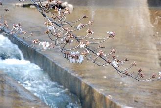 川面に映える薄ピンクの花びら
