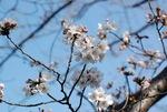 日当たりの良い場所では7分咲き
