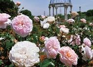 約1400株のバラが見頃