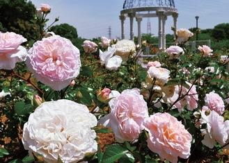 整備された広場に咲き誇るバラ(5月8日撮影)