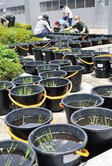 バケツ一つひとつに苗を植えていく