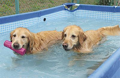 犬もプールで納涼