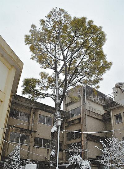 大王松の保全プロジェクト
