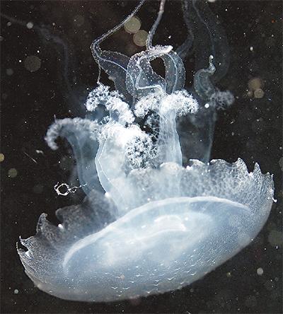 ミノクラゲを日本初展示