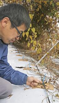 栽培する石川さん。地中には間もなく収穫を迎える自然薯が植わっている